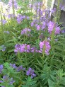 Physostegia, False Dragonhead, Obedient Plant