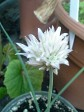 White flowered Chives. Pretty and Delicious