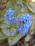 Brunnera Jack Frost, Brilliant Blue Flowers