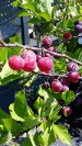 Beach Plums, Native Seashore Plant