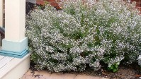 Calamintha Montrose White, Fragrant Foliage and Blooms All Season