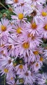 Aster Dream of Beauty