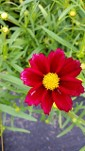 Coreopsis Mercury Rising- blooming all summer