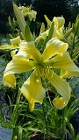 Daylily Spider Miracle, huge yellow flowers on tall stems