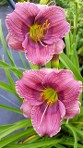 Daylily Razzamatazz, small purple rebloomer