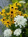 Rudbeckia Indian Summer and Queen Anne's Lace