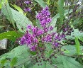 Vernonia, Native Ironweed