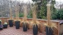 Karl Foerster Feather Reed Grass, Patio Containers in Winter