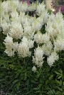 Astilbe White Gloria courtesy Walters Gardens