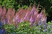 Astilbe Purple Candles courtesy Walters Gardens
