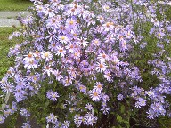 Aster Bluebird in the Autumn