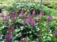 Astilbe Visions and Hosta Regal Cross