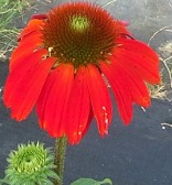 Echinacea Cheyenne Spirit Red Flowered