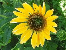 Echinacea Cheyenne Spirit Yellow Flowered