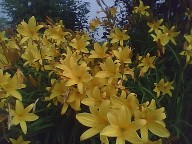 Lemon Lily, sweetly scented and very early bloomer