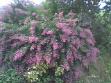 Lespedeza Pink Fountains in all its fall glory