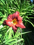 Daylily Red Zeppelin, Grown From Seed Years Ago, Only Available At Our Nursery