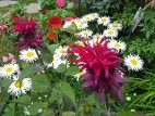 Monarda Raspberry Wine with daisy Phyllis Smith