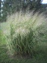 Panicum Dallas Blues at 6'-7'