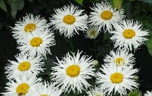 Shasta Daisy Phyllis Smith